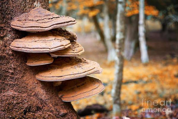 Toadstools Photograph - Bracket Fungus On Beech Tree by Jane Rix