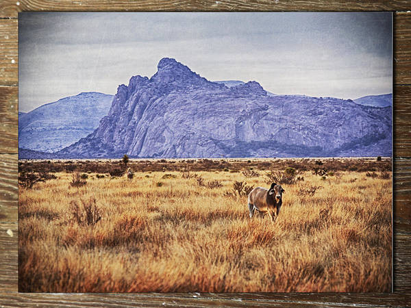 Photograph - Brahma Bull by Charles McKelroy