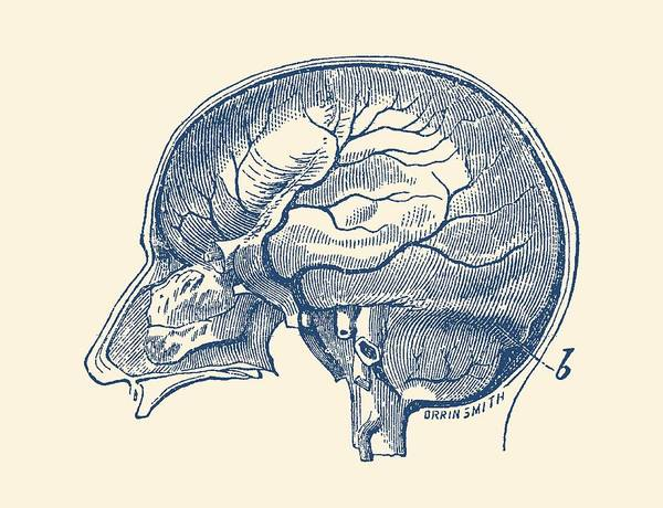 Nerves Drawing - Brain Diagram Two - Anatomy Poster by Vintage Anatomy Prints