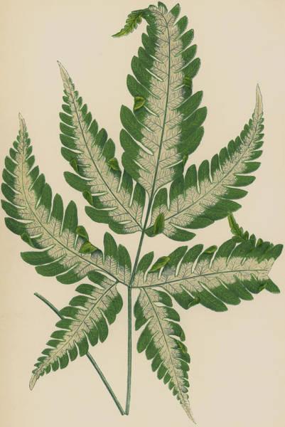 Leaf Venation Wall Art - Painting - Brake Fern by English School
