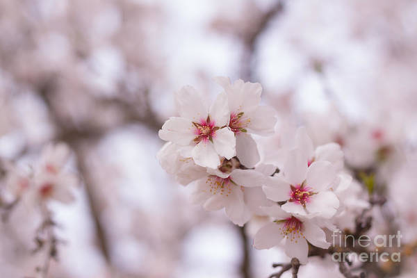 Photograph - Branch Blossoms by Ana V Ramirez