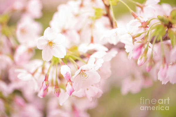 Cherry Trees Photograph - Branch Of Cherry Tree by Delphimages Photo Creations