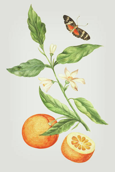 Mixed Media - Branch With Blossoming Orange Blossom, Oranges And Butterfly By Cornelis Markee 1763 by Cornelis Markee