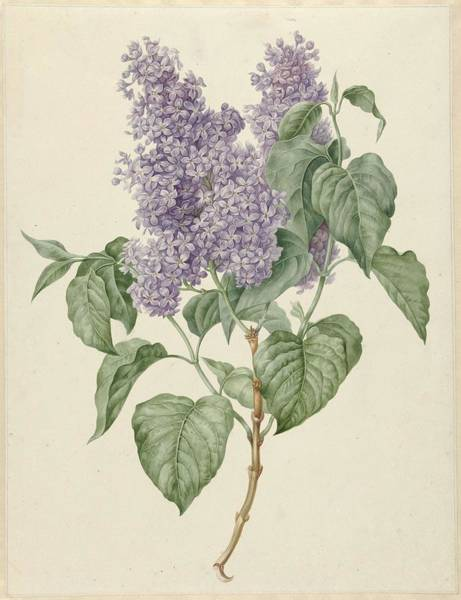 Food Groups Painting - Branch With Purple Lilacs, Maria Geertruyd Barbiers-snabilie, 1786 - 1838 by Maria Geertruyd Barbiers
