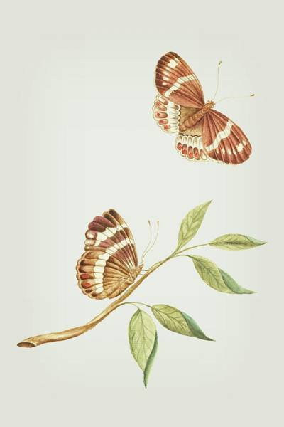 Mixed Media - Branch With Sitting And Flying Brown Butterfly By Cornelis Markee 1763 by Cornelis Markee