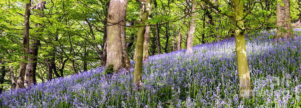 Bluebell Photograph - Bluebell Wood by Janet Burdon