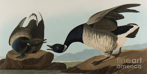 Painting - Brant Goose, 1837  by John James Audubon