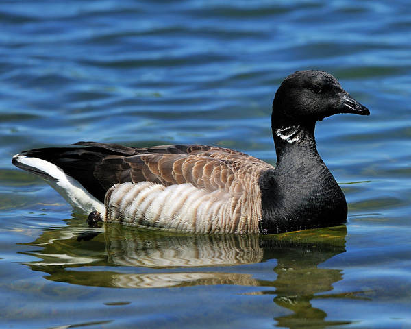 Photograph - Brant by Tony Beck