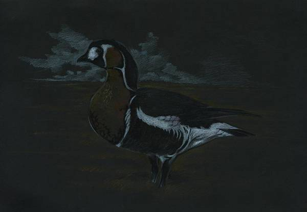 White Goose Drawing - Branta Rufficolis by Krzysztof Wielkopolski