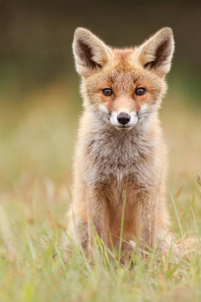 Cute Overload Photograph - Brave New Fox Kit by Roeselien Raimond