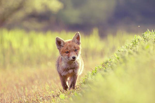 Wall Art - Photograph - Brave New Kit - Baby Fox Exploring The World by Roeselien Raimond