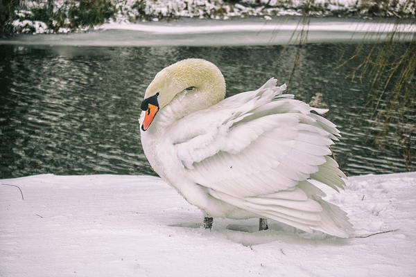 Swan Photograph - Braving The Cold by Martin Newman