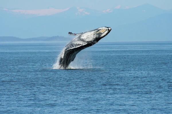 Breaching Humpback Whales Happy-3 Art Print