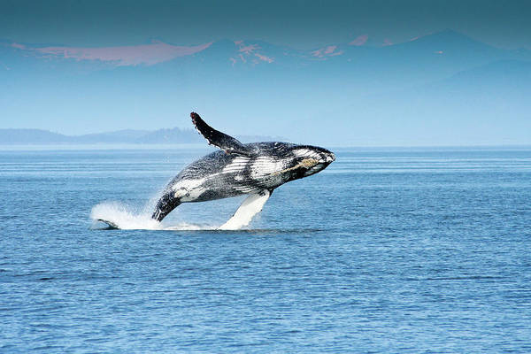 Photograph - Breaching Humpback Whales Happy-4 by Steve Darden