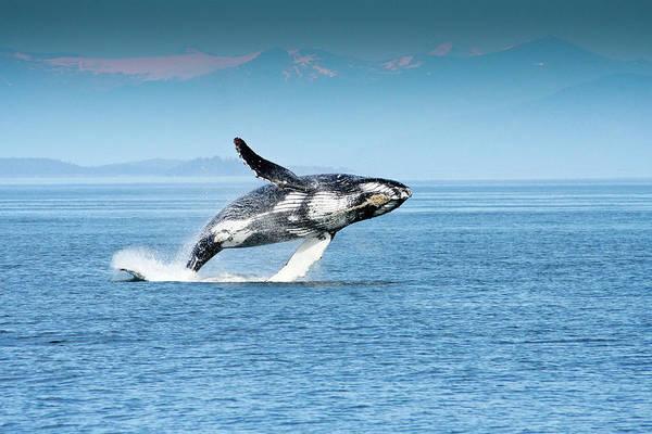 Breaching Humpback Whales Happy-4 Art Print