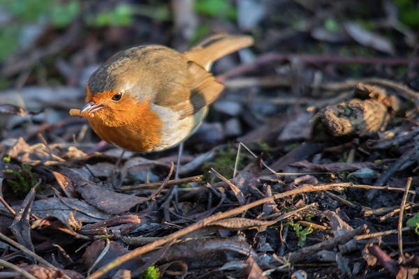 Photograph - Breakfast For Robin  by Cliff Norton