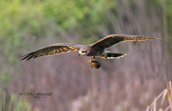 Photograph - Breakfast On The Fly by Mike Fitzgerald