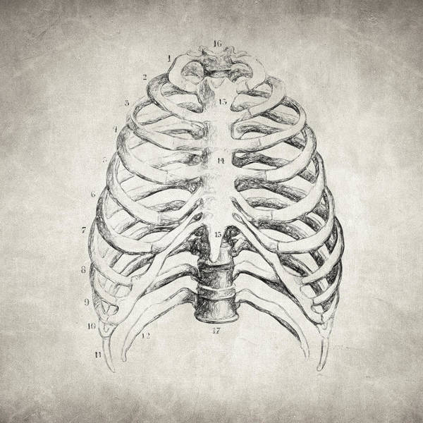 Drawing - Rib Cage by Zapista Zapista