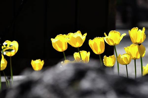 Photograph - Breckenridge Tulips by Jerry Sodorff