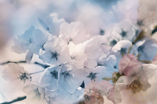 Photograph - Breeze Of Blossoms by Connie Handscomb