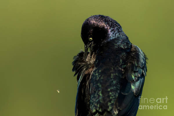 Photograph - Brewers Blackbird by Beve Brown-Clark Photography