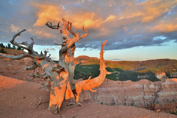 Photograph - Brian Head Bristlecone by Ray Mathis