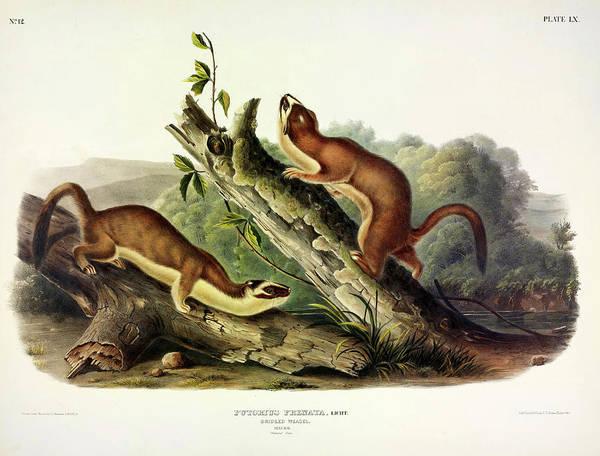 Weasel Wall Art - Painting - Bridled Weasel by John James Audubon