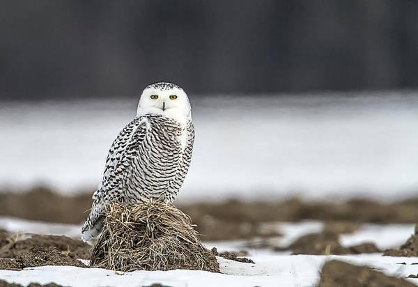 Photograph - Bridport Vermont Snowy Owl by John Vose