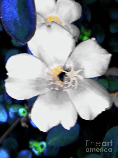Bright Blue Accents White Vinca Art Print