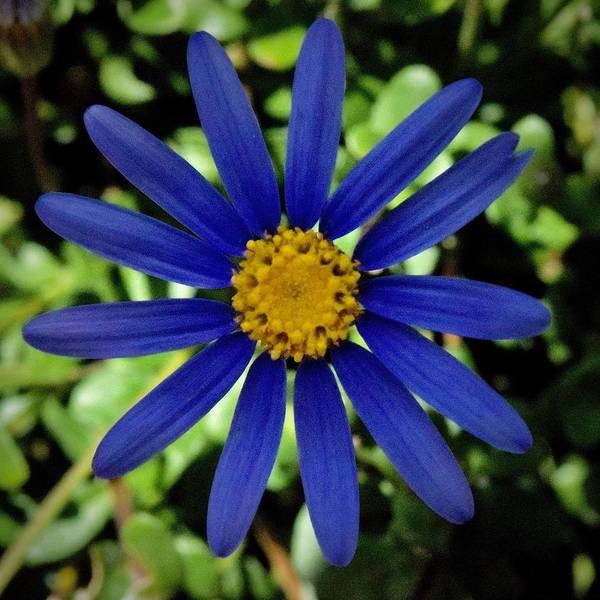 Photograph - Bright Blue Daisy by Lynda Anne Williams