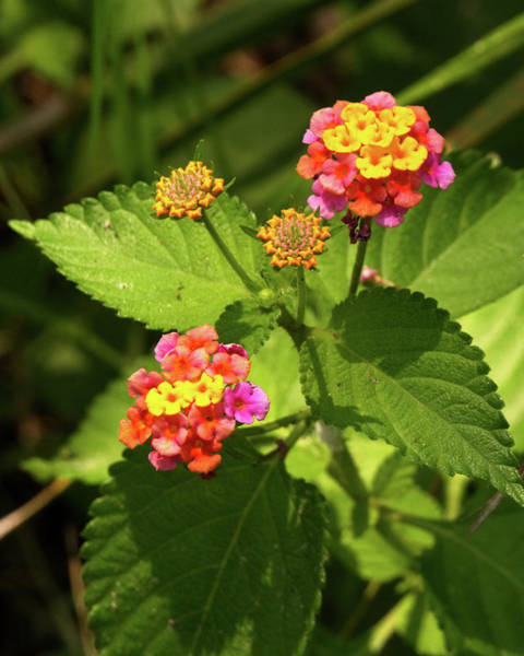Photograph - Bright Cluster Of Lantana Flowers by Vincent Billotto
