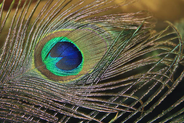 Photograph - Bright Feather by Angela Murdock