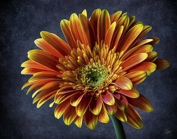 Photograph - Bright Gerbera by Endre Balogh