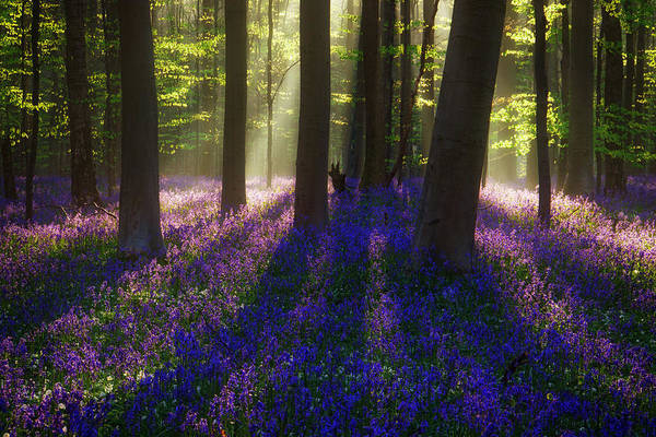 Bluebell Photograph - Bright Magic by Martin Podt