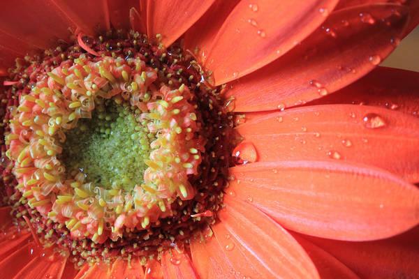 Photograph - Bright Orange Daisy by Angela Murdock