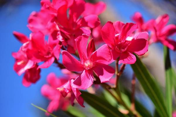 Wall Art - Photograph - Bright Pink Oleander 3 by Linda Brody
