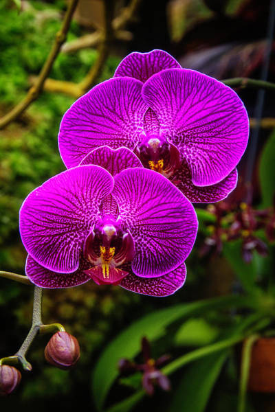 Distinctive Wall Art - Photograph - Bright Purple Orchids by Garry Gay
