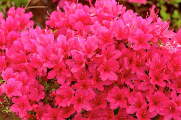 Photograph - Bright Red Azaleas by Teri Virbickis