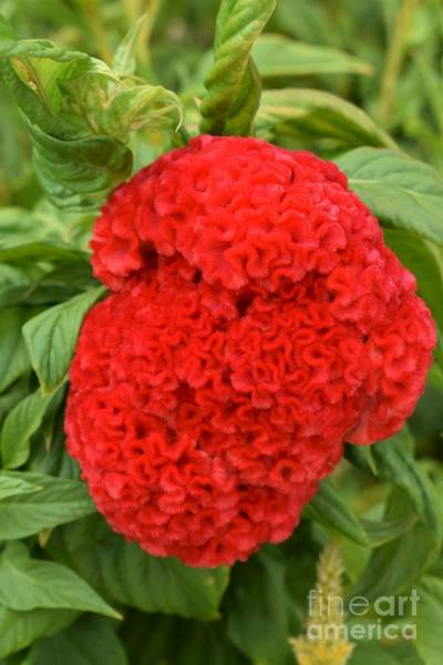 Photograph - Bright Red Cockscomb by James Fannin