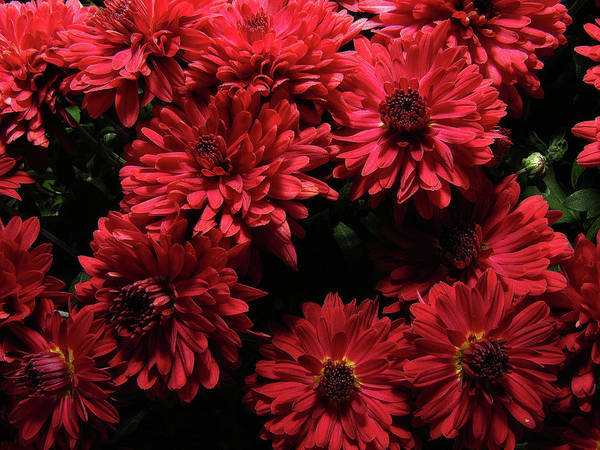 Photograph - Bright Red Mums by Scott Hovind