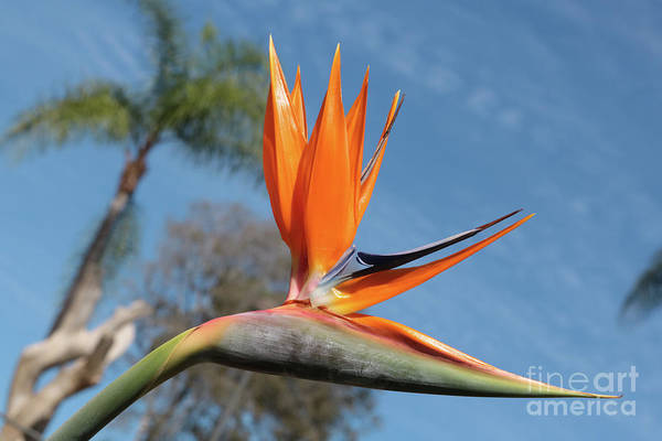 Photograph - Bright Skies And Bird Of Paradise by Carol Groenen