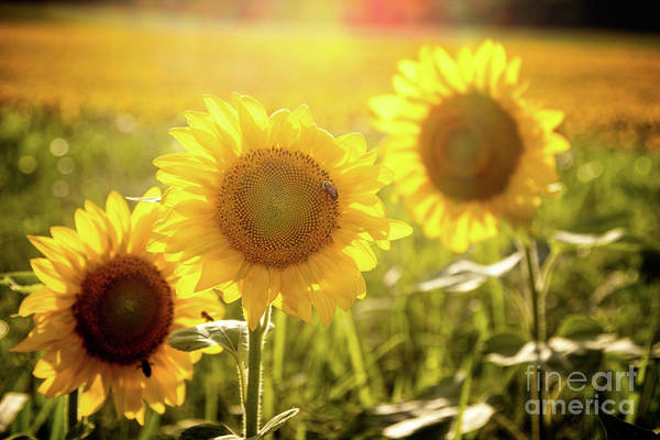 Photograph - Bright Sunflower Trio by Eleanor Abramson