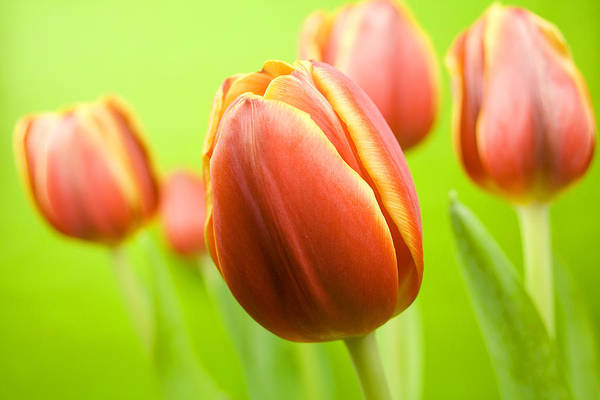 Photograph - Bright Tulips by Marc Huebner