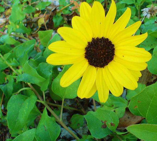Flagler Beach Photograph - Bright Yellow Joy by Cheryl Waugh Whitney