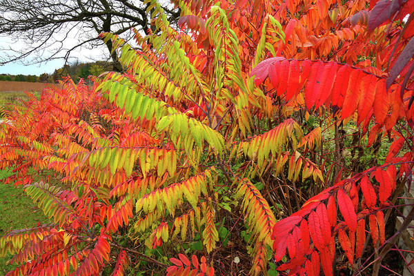 Photograph - Brightly Colored Sumac At Severson Dells Natural Area by Ray Mathis