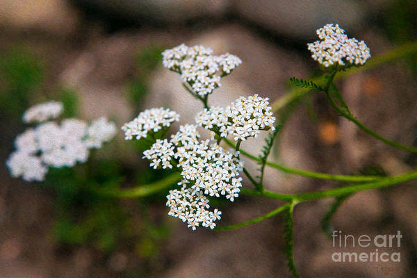 Photograph - Brilliant Bliss Methow Valley Flowers By Omashte by Omaste Witkowski
