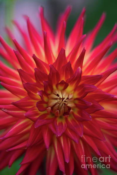Wall Art - Photograph - Brilliant Dahlia Red Starburst by Mike Reid