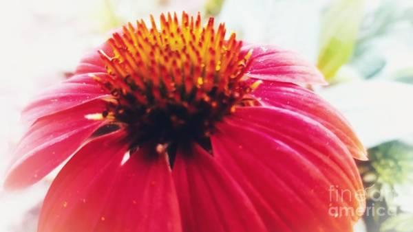 Photograph - Brilliant Echinacea by Rachel Hannah