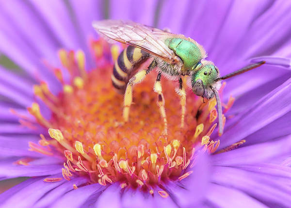 Pollinator Wall Art - Photograph - Brilliant Green Halactid Bee  On Aster by Jim Hughes