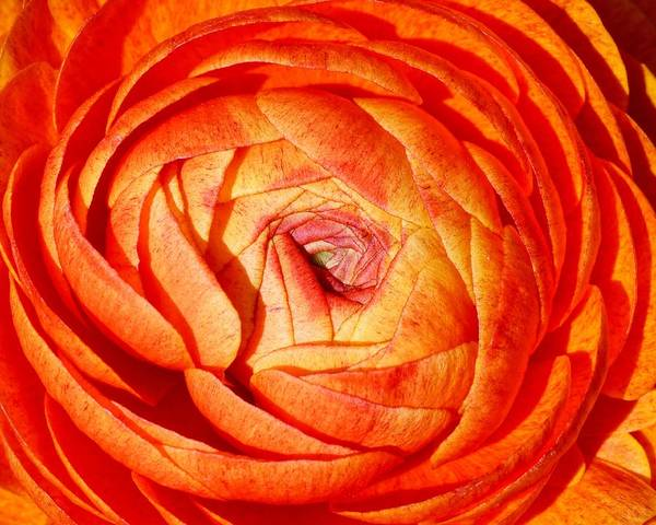 Photograph - Brilliant Orange - Ranunculus by KJ Swan